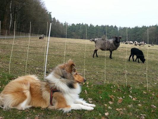 Calina und die Schafe