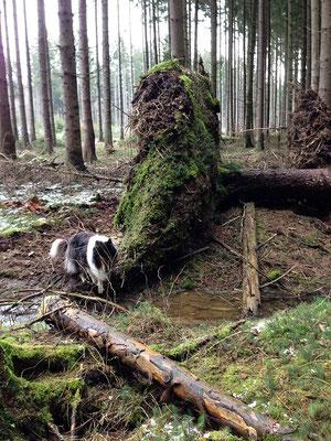 Der Tag nach Sturmtief Niklas :(  So viele umgestürzte Bäume!