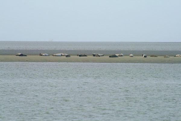 Die Seehundbänke auf dem Weg mit der Fähre nach Norderney
