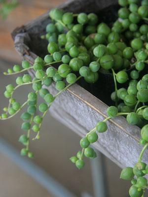 グリーンネックレス。可愛いまん丸の多肉植物はインテリアとしても楽しめます。