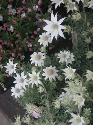 フランネルフラワー。ふわふわの花びらです。