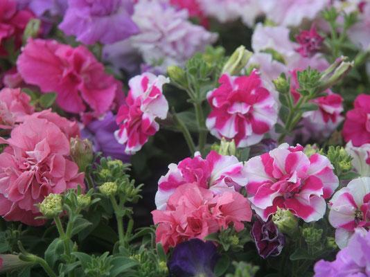 八重咲きのペチュニア。初心者にも育てやすいですよ。