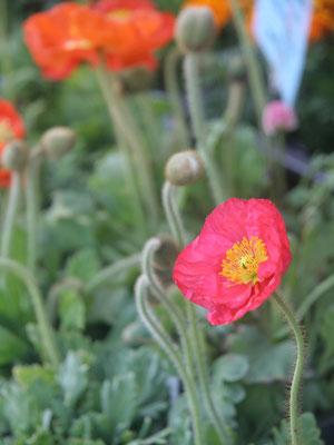 ポピー。カラフルな色を初夏まで楽しめます。こぼれ種で来年も。