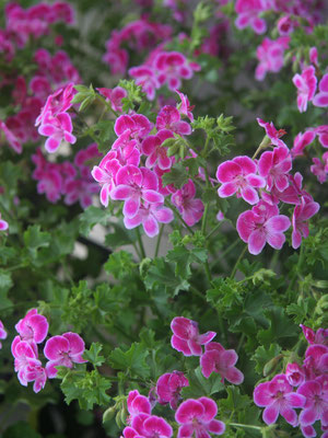 ペラルゴニューム。花期がとても長いので長く花を楽しめます。