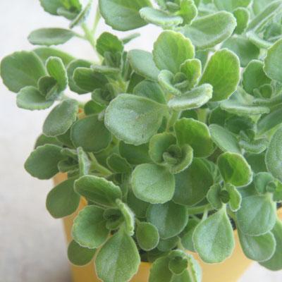 アロマティカス。ハーブと多肉を足して割ったような植物です。香りがとても爽やかですよ。