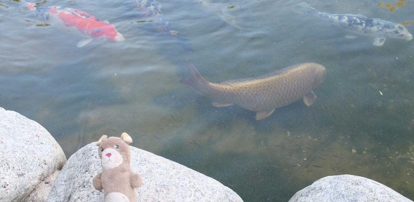 Les carpes Koï et Moka la loutre aux Jardins Aquatiques l'été 2017 avec l'illustratrice Cloé Perrotin