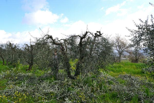 olive tree, pruning, Agriturismo, Casafredda, Arezzo, Tuscany, Toscana