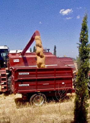 harvesting, Agriturismo, Casafredda, Arezzo, Tuscany, Toscana