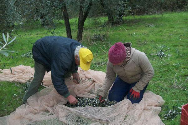 picking, Agriturismo, Casafredda, Arezzo, Tuscany, Toscana
