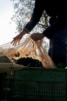olives picking,  Agriturismo, Casafredda, Arezzo, Tuscany, Toscana