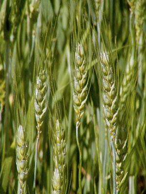 ears of wheat, Agriturismo, Casafredda, Arezzo, Tuscany, Toscana