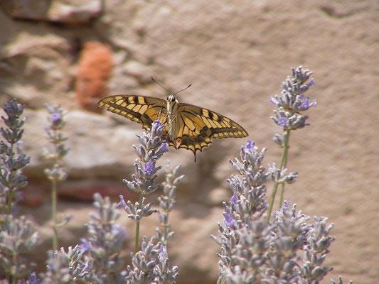 butterfly, lavanda, Villa, Casafredda, Arezzo, Toscana, Tuscany, Italy