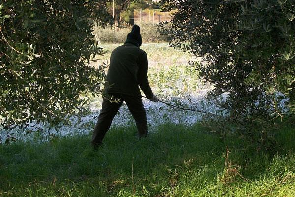 olive grove, Agriturismo, Casafredda, Arezzo, Tuscany, Toscana