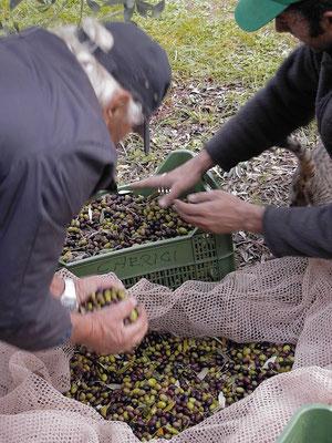 olive picking, EVOO, Villa, Casafredda, Arezzo, Toscana, Tuscany, Italy