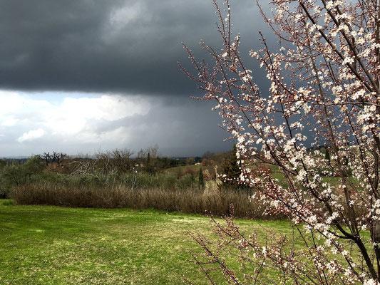 storm, plum tree, flowers, Villa, Casafredda, Arezzo, Toscana, Tuscany, Italy