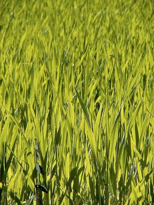 wheat, Agriturismo, Casafredda, Arezzo, Tuscany, Toscana