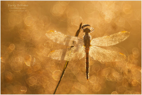 Goldener Morgen - Libelle (Retroaufnahme mit Trioplan 100/2.8)