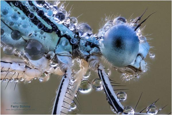 Federlibelle im Morgentau - mehr gibt's im Libellenportfolio!