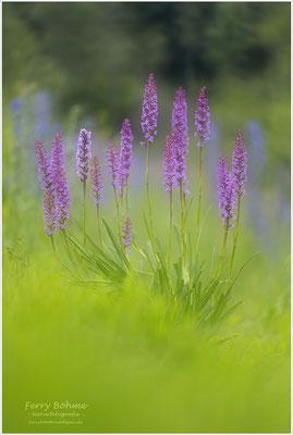 18 Blütenstände an einer Orchidee