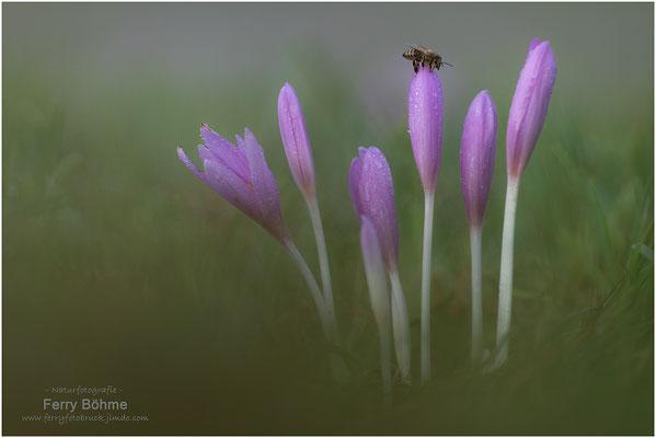 Herbstzeitlose mit Bienchen