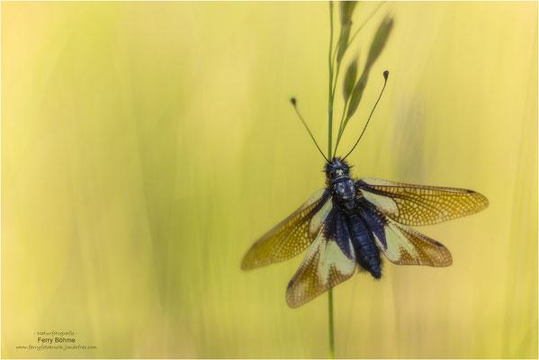 """Libellen-Schmetterlingshaft"""