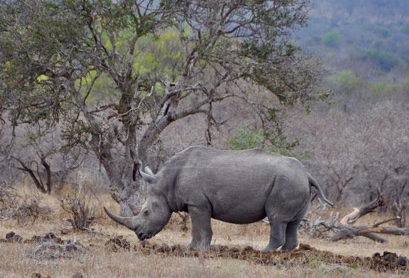 Kruger Park Nashorn
