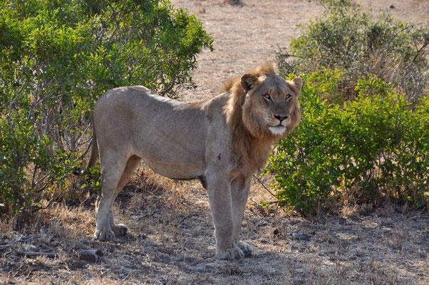 Kruger Park Löwe