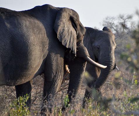 Kruger Park Elefant