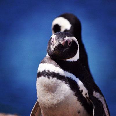 Pinguin, Argentinien