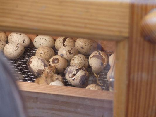 In dem Brutkasten befinden sich bei 37 Grad  27 Eier.