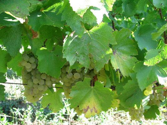 Corvée des Vignes