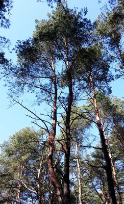 Märkische Palmen (Pinus sylvestris)