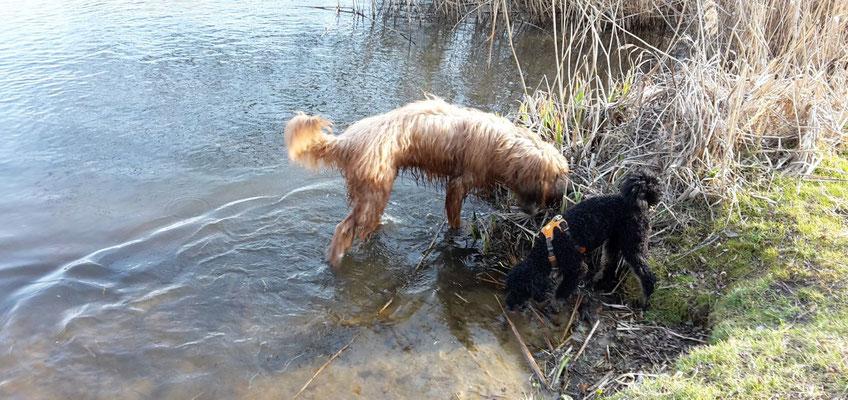 Andras war sofort im Wasser, Momo hat erst mal vorsichtig die Spree gekostet