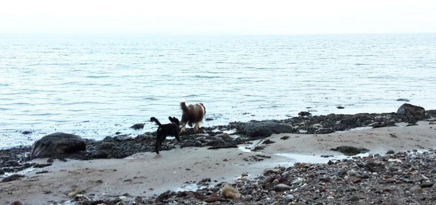 Momo und Marley flitzen am Strand von Westerholz um die Wette