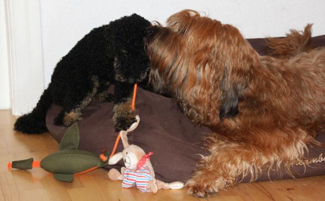 während Momo an seinem Weihnachtsgeschenk (!) rumknabbert, bekommt er von Andras zärtlich die Ohren geputzt
