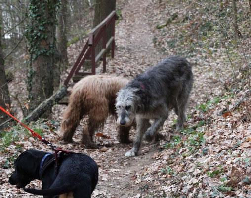Zoey - eine Irische Wolfshund-Dame