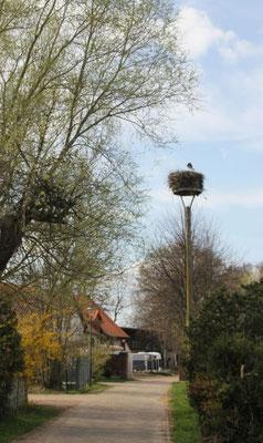 der erste Storch in Schneeberg (LOS)