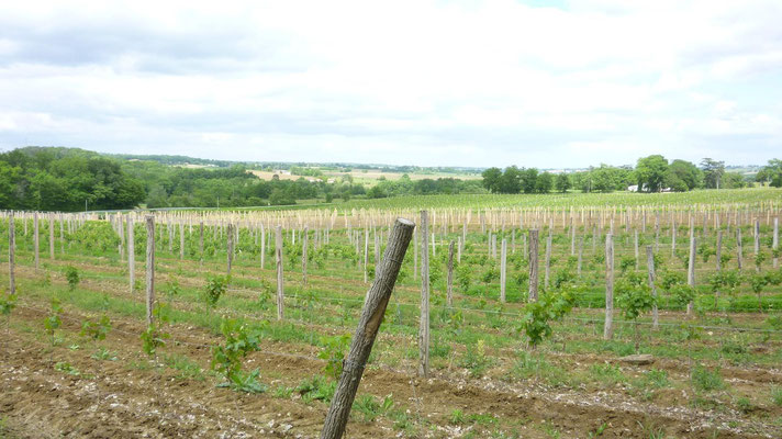 Les vignes pour produire l'Armagnac