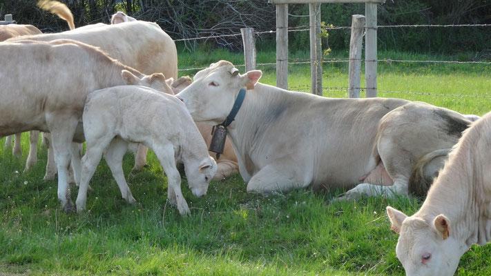 Vaches espagnoles