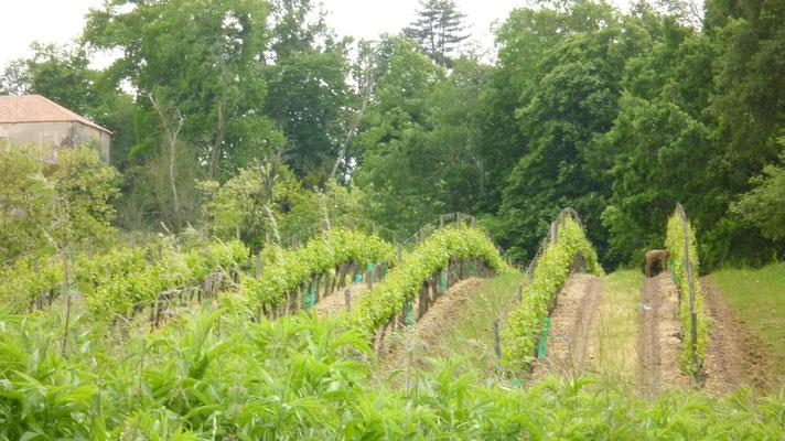 Le cheveuil entrain de brouter les feuilles de vigne