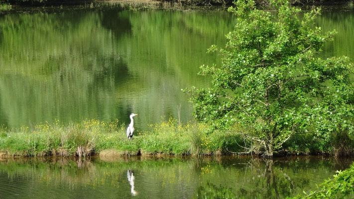 Un héron sur le lac du Brousseau