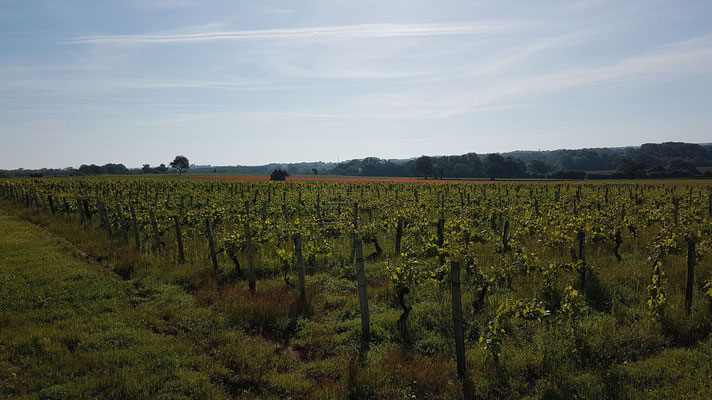 Les vignes de Châteaumaillant