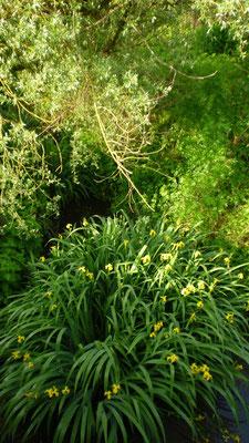 Une belle touffe d'iris dans un ruisseau