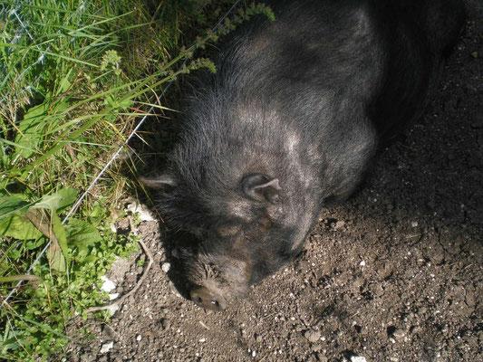 Le cochon truffier de face