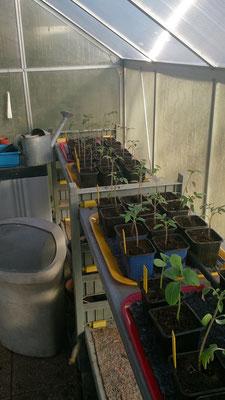 Tomates et concombres rempotés