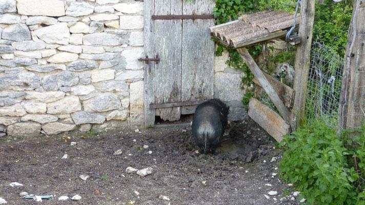 Le cochon truffier de dos