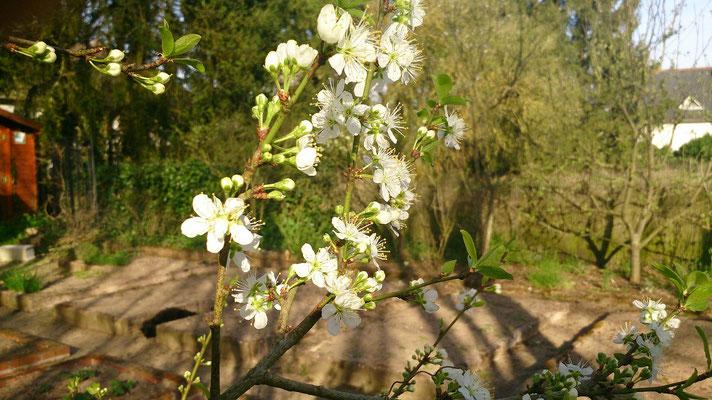 Le mirabellier est en fleur, attention au gelées matinales