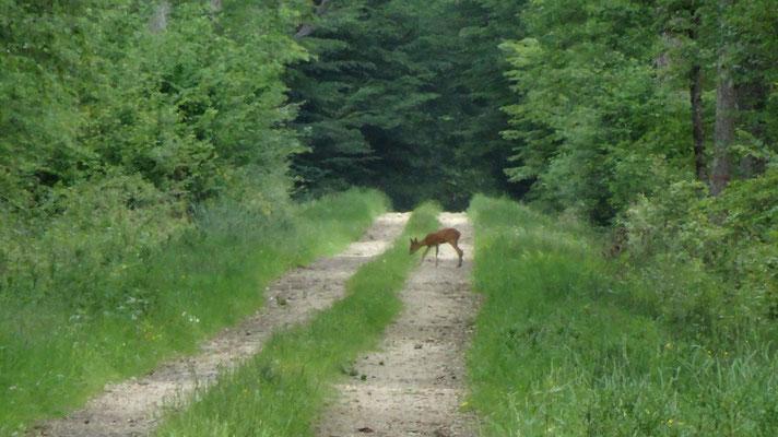 Cheveuil dans la forêt d'Apremont sur Allier