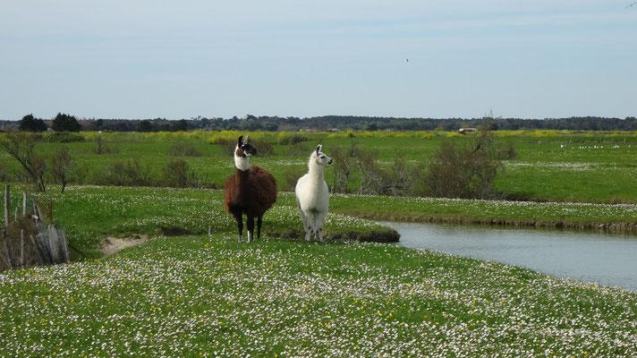 Les marais - Lamas