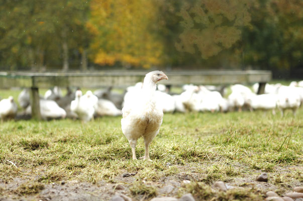 Products – Halal Organic Chickens and Halal Free Range Chickens - 2